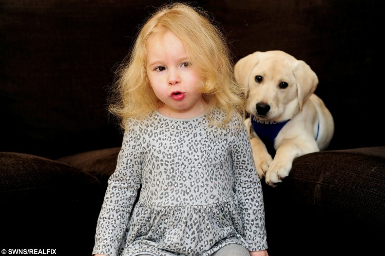 """Alyssa Stirling, 3, with her labrador puppy Harvey. See Centre Press story CPDOG; The family of an autistic three-year-old hope to raise thousands of pounds so their young pup can become an autism support dog. Alyssa Stirling is autistic and her family wanted her to have the support of a canine helper as early as possible. After the family's first choice charity fell through, they discovered newly formed Appaws For Autism. Elise, Alyssa's mum, explained the difference between this charity and others on offer. She said: """"Appaws For Autism allows families to source their own puppies and lets them stay with the child while they go through training."""