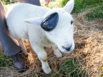 The one-eyed ewe that thinks she's a dog!