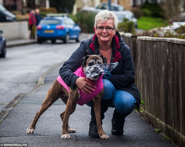 "Paris a a nine-and-a-half-year-old boxer from Bodmin, Cornwall, with his owner Fran Hodges. Paris likes to collect rubbish on his walks and put it in the bin. 18/01/2016  See SWNS story SWDOG; Britain's most environmentally friendly dog has begun collecting rubbish on his walks - and has learned which RECYCLING bin to put them in when he gets back home. Fran Hodges, 51, has dubbed her pet pooch Paris as a ""one-dog recycling machine"" after she began collecting plastic bottles and pieces of litter while out on walks. After collecting the discarded items Boxer Paris would take what she had collected back to her home, and put them straight in the correct recycling box. Now Fran, from Bodmin, Cornwall, has created a Facebook page to highlight her dog's unusual habit, which she likens to a real life Womble."