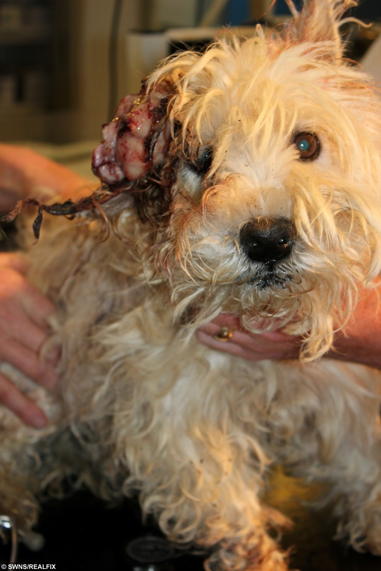 These gruesome photos show a dog who was left to suffer for over a year with a huge tumour on his face - as his owner prayed he would die. See SWNS story SWTUMOR;  Cruel Kenneth Nigel Mackenzie failed to get treatment for his West Highland Terrier, despite the severe, weeping tumour on his ear. He was yesterday banned from keeping animals for five years after pleading guilty to causing unnecessary suffering to nine-year-old Max. RSPCA officers launched an investigation after being made aware of Max's condition, and uncovered an extreme case of neglect.
