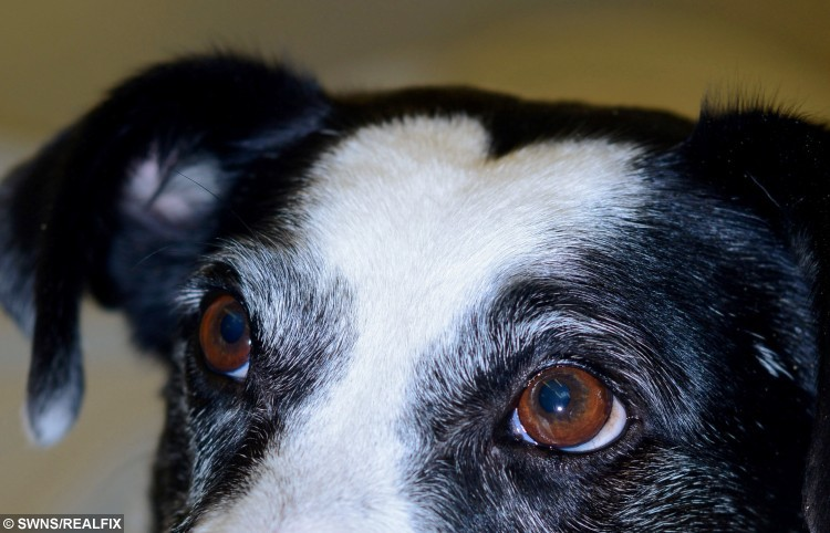 Dodger the Terrier, aged four, who has a distinctive heart- shaped marking on his face
