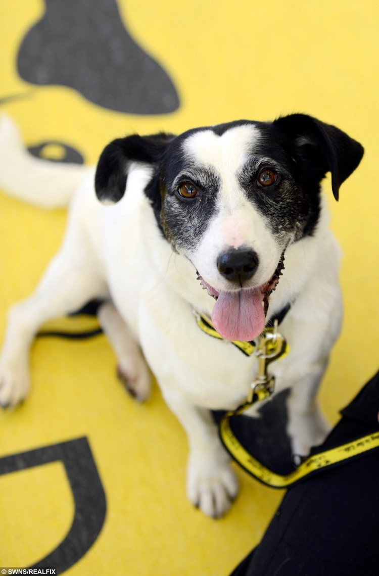 Dodger the Terrier, aged four, who has a distinctive heart- shaped marking on his face, at his residence  Dogs Trust, Glasgow, who are appealing for someone to come forward this Valentines and give Dodger a permanent home . FEBUARY 12 2016.  See Centre Press story CPHEART; A loveable dog wearing its heart on its face is looking for a new home on Valentine's Day. Four-year-old Dodger – a terrier – has the unusual marking on its forehead. The Dog's Trust Glasgow resident caught the eye of staff at the rehoming centre, who say the canine lives up to its appearance as a very affectionate and loving little dog. During 15 months at Dog's Trust, Dodger has seen many of the other dogs snap up new owners, but the pleasing pooch has yet to find its perfect match. Staff hope someone this Valentine's Day will sweep the adorable hound of its paws and give it a loving home of its own.