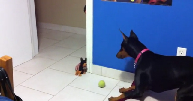 Hilarious video shows Doberman getting bullied by a stuffed toy
