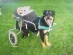 Disabled dog take his blind and deaf friend for a ride