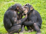 Cheeky chimp affectionately puckers up to give his mate a tender kiss