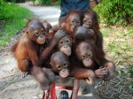 These abandoned baby orangutans on a 'school run' are wheely cute!