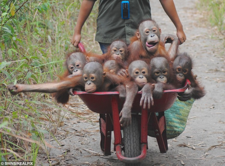 Heartwarming pictures show the baby Orangutans in a wheelbarrow going to their school classes on how to survive in the wild in Indonesia. See Masons copy MNSCHOOL:The little youngsters are taught the skills which should have been gained from their mothers at International Animal Rescue's school in Indonesia. Their adorable school run shows up to eight of the little ones huddled up while being wheeled to the 'baby school'. Orangutans usually spend seven to eight years with their mother and learn the skills they need to survive.