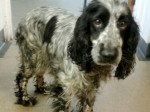 This is the heartbreaking photo of a spaniel 'crying' over her dead pups found dumped in a fish and chip bag