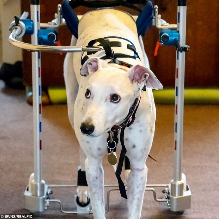 **NTI SHOOT PICTURES TO FOLLOW** Spooky Boo with her custom made wheelchair after a freak accident left her paralysed.  A loveable deaf rescue dog who was left partially paralysed following a freak accident on a walk has been able to move about again thanks to a special set of wheels.  See NTI story NTIDOG.  Lurcher Spooky Boo was left with an acute non-compressive disc extrusion and myelomalacia, softening of the spinal cord, after falling over on New Year's Eve.  Her dedicated owners Tania and Eddy Morris have been alternating leave from work to nurse her following the freak accident and have spent almost £3,000 on the wheelchair in the hope she may enjoy walkies once again.  As well as the custom made wheelchair, Spooky Boo is undergoing hydrotherapy and physiotherapy and already the couple have seen improvements.  They are hoping people can donate unwanted garden tiles which would otherwise be destined for the scrapheap so they can tile over their gravel garden to make it easier for Spooky Boo to get around.