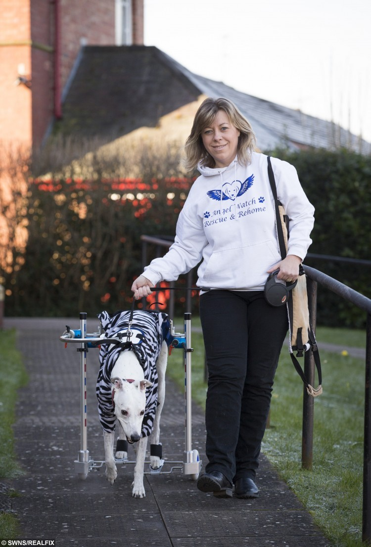 Spooky Boo, a five-year-old Lurcher, goes out for a walk on her custom made wheelchair with her owner Tania Morris. Spooky Boo was left paralysed after a freak accident. February 16 2016.  A loveable deaf rescue dog who was left partially paralysed following a freak accident on a walk has been able to move about again thanks to a special set of wheels.  See NTI story NTIDOG.  Lurcher Spooky Boo was left with an acute non-compressive disc extrusion and myelomalacia, softening of the spinal cord, after falling over on New Year's Eve.  Her dedicated owners Tania and Eddy Morris have been alternating leave from work to nurse her following the freak accident and have spent almost £3,000 on the wheelchair in the hope she may enjoy walkies once again.  As well as the custom made wheelchair, Spooky Boo is undergoing hydrotherapy and physiotherapy and already the couple have seen improvements.  They are hoping people can donate unwanted garden tiles which would otherwise be destined for the scrapheap so they can tile over their gravel garden to make it easier for Spooky Boo to get around.