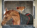 Love thy neigh-bour: horse and chicken become best friends