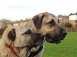 Giant dog is lifelong protector of pooch who was beaten in the head with an AXE and had his ears chopped off