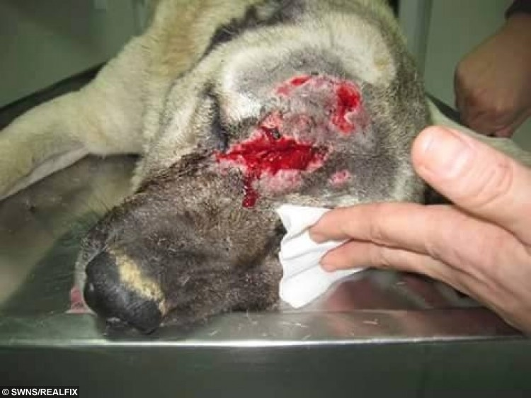 The injuries sustained by Celina the Kangal dog who was attacked with an axe and had her ears cut off