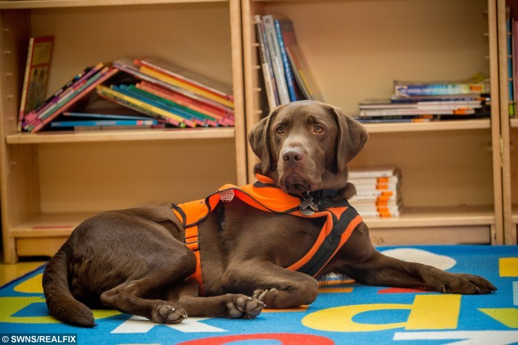 Two-year-old chocolate labrador Fernie, the reading dog