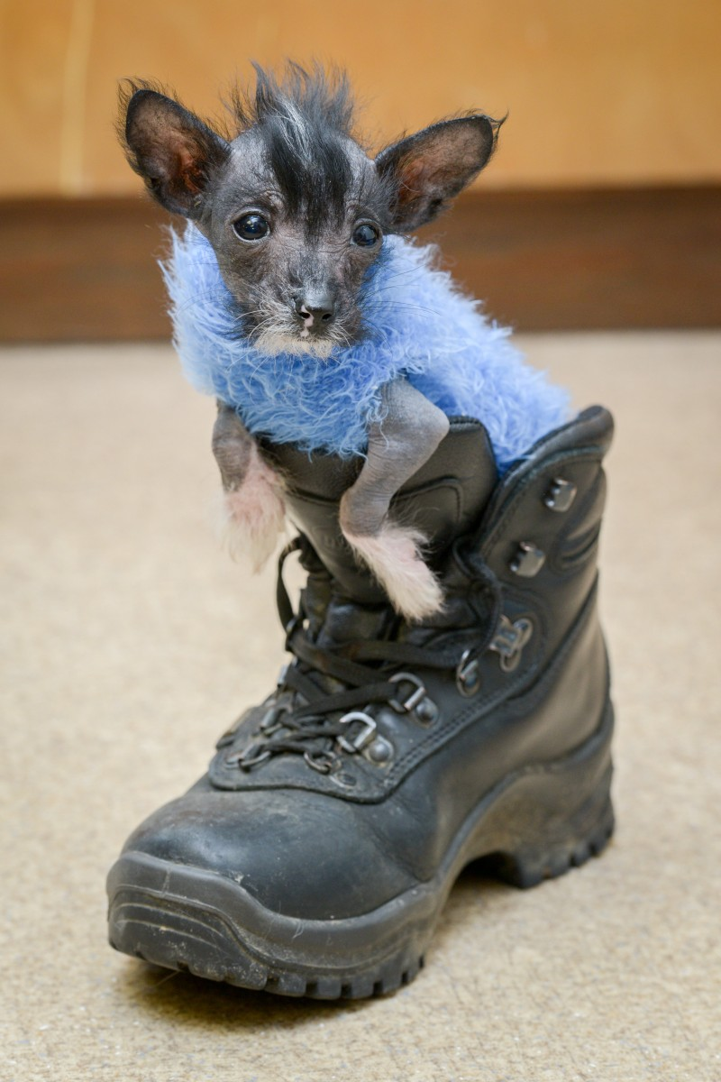 Hairless rescue pup wears jumpers made out of socks to