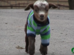 Watching this adorable baby goat climbing her first mountain is guaranteed to make you smile