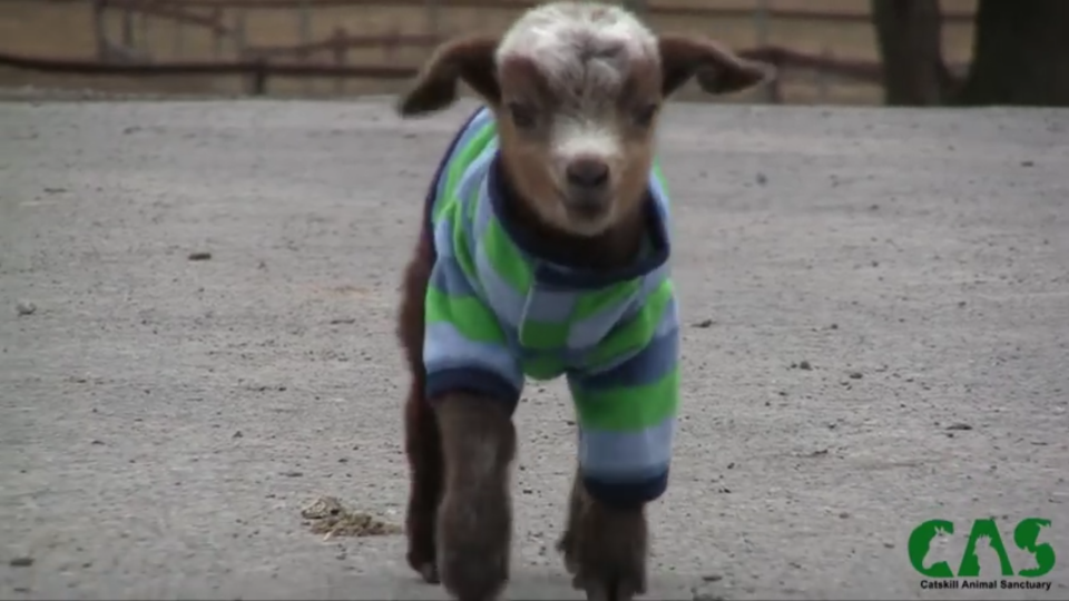 Watching this adorable baby goat climbing her first ...  Watching this a...