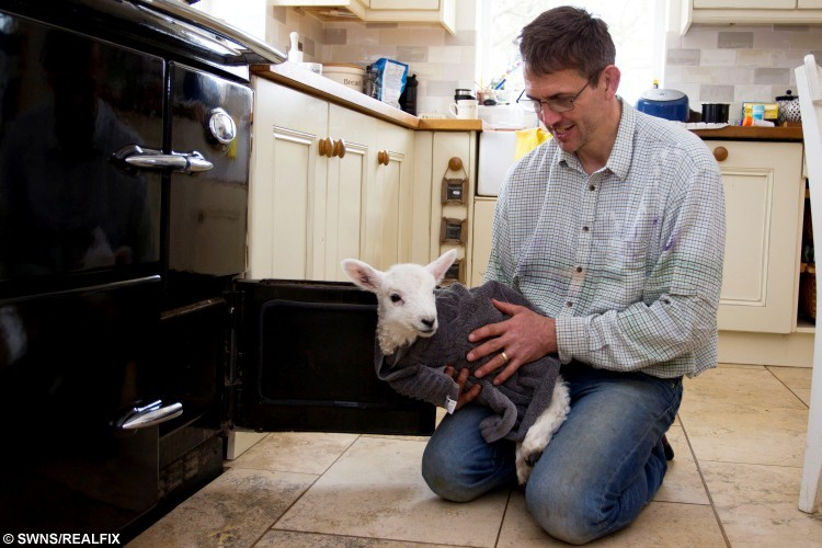 This Poor Little Lamb Nearly Froze To Death But Was Bought