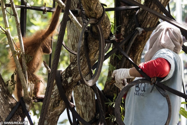 Baby Orangutan, Joss, learns how to climb at the International Animal Rescue Orangutan Rehabilitation Centre, Borneo. See SWNS story SWAPE; A wildlife charity has released a video of a baby orangutan traumatised by years in captivity climbing a tree for the first time. Joss, who lives in Borneo, was left profoundly traumatised after being kept for two years as a pet, but she is already on the road to recovery. Videos and photos released by charity International Animal Rescue (IAR) show the primate climbing and feeding in a tree - showing no signs of the abnormal  behaviour she displayed before she was rescued. Although Joss remains in quarantine at the International Animal Rescue Orangutan Rehabilitation Centre, she has been taken out for short periods to learn to climb.