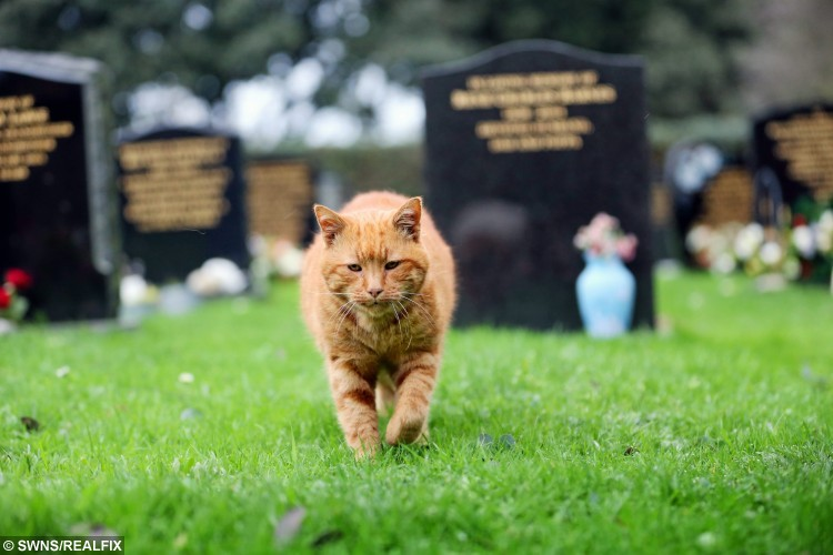 Barney the cemetery cat who has consoled mourners for 20 years. See SWNS story SWCAT; Tributes have been paid to a much-loved cemetery cat who consoled mourners for 20 YEARS - and has now been BURIED there. Ginger tabby Barney spent his days walking the grounds of the burial site offering comfort to grieving loved ones during funerals and graveyard visits. He died aged 20 on Friday evening from old age. And one of his keepers Alan Curzon has confirmed he has now been laid to rest at the place where he spent his entire life brightening up the lives of hundreds during their darkest moments.