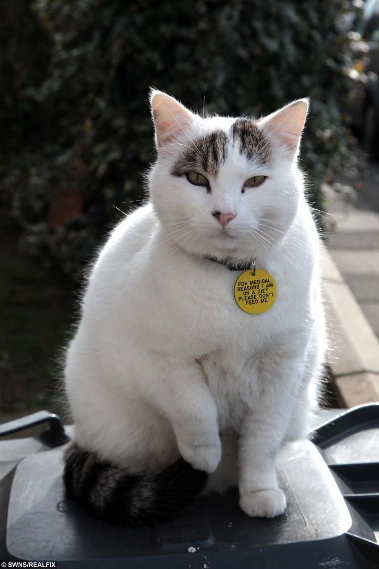 Is This Britain S Fattest Cat Real Fix