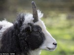 Ewe-nicorn – Meet Peanuts, the sheep with a rather magical horn