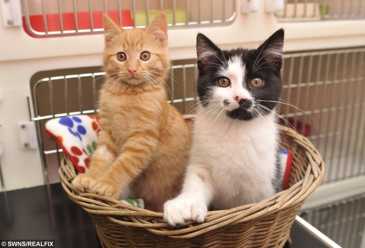 Kittens Thumbs and Fingers who are currently homed at Cats Protection St Helens Adoption Centre in Merseyside
