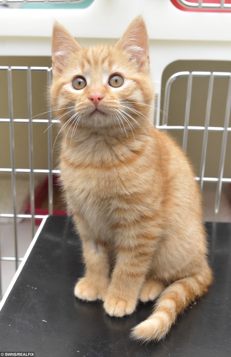 Thumbs the kitten who is currently homed at Cats Protection St Helens Adoption Centre in Merseyside