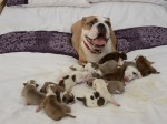 This CUTE Bulldog has miraculously become the mother to a litter of 14 adorable puppies