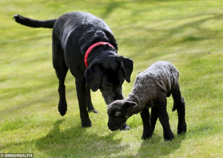 """The little black lamb and Tia the """"Lambrador"""" as they are now calling her are good friends and often play together on the lawn."""