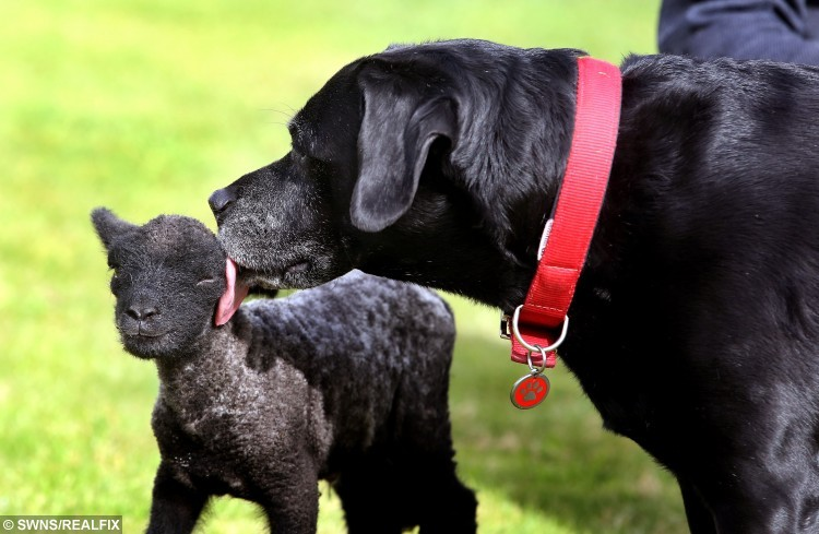 15-year-old Labrador Tia has struck up an unlikely friendship with a prematurely born lamb called Rocky.
