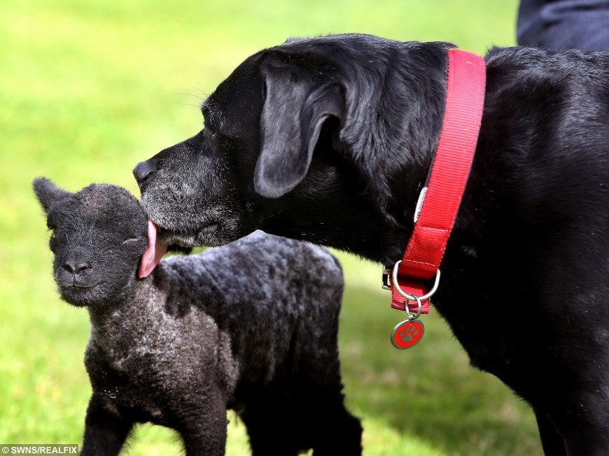 Aww The Unlikely Friendship Between A Lamb And A Labrador Will - 15 unlikely animal friendships will melt heart