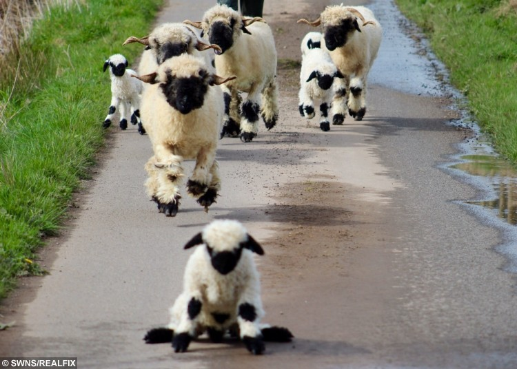 """A lamb called Daniel slipping on the path outside Whitehall Farm in Dumfries, captioned 'Splat', has reached almost half a million people worldwide thansk to social media. See Centre Press story CPLAMBS; Twin brothers Donald and Douglas, born last month, will be donated to the Dumfries and Galloway Personality Disorder Support charity (DGPDS) later this year to help with pet therapy. Emily Duncan, 38, who runs Whitehall Farm in Dumfries with her husband Henry, 40, said the pair are being rehomed because of their imperfect markings. The mum-of-two said: """"Donald and Douglas don't have good enough markings to make good rams. They will however make excellent friends."""