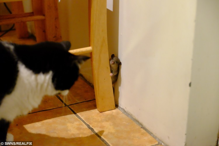 Audrey the cat and the little mouse that got away. See Masons copy MNMOUSE: This incredible photo shows a real life Tom and Jerry moment as a clever mouse evades the clutches of a cat. Just as in the iconic cartoon the cat trapped the mouse before bringing him in the house. But the mouse had the last laugh and gave the cat, called Audrey, the run around for two hours before escaping unscathed.
