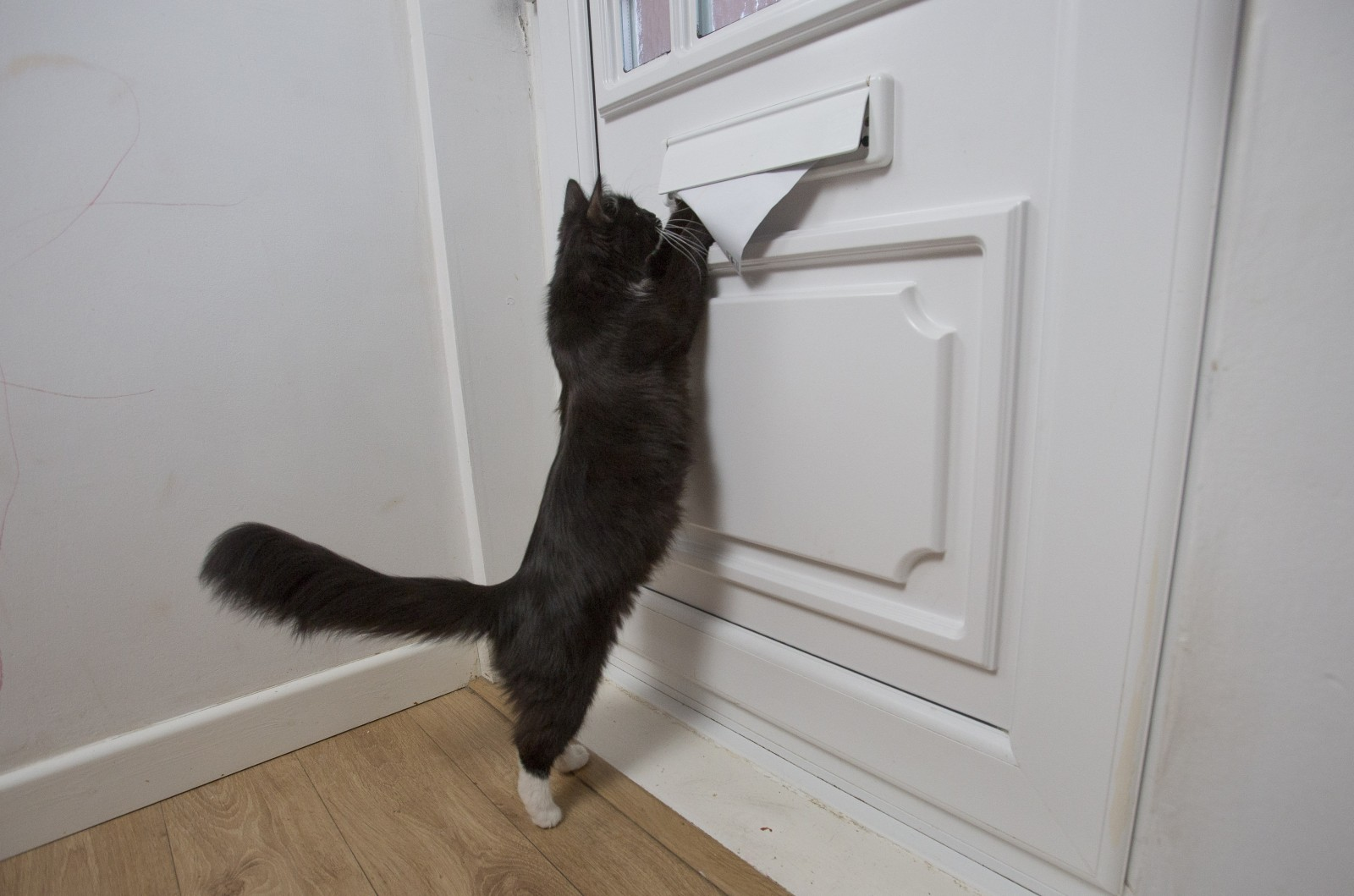 Scaredy-cat postmen are refusing to deliver to a home because they are being attacked by this angry feline