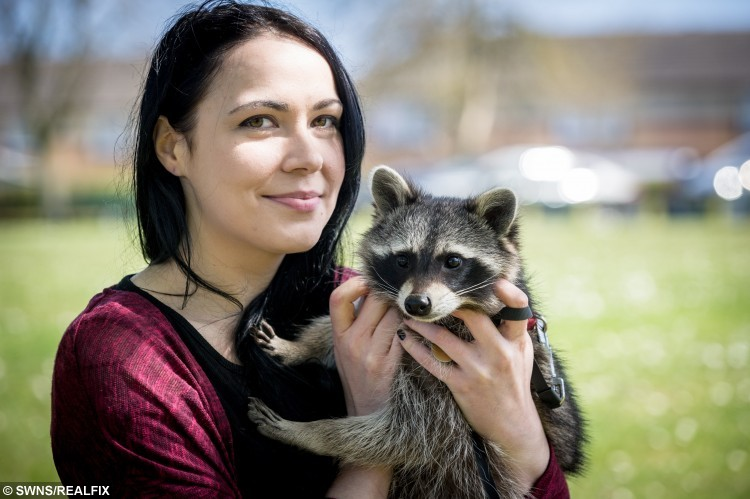 "Kasey Valentine, 24 from Stevenage with Cody the Racoon. See Masons copy MNRACOON: A chronically-ill woman has conquered her social anxiety brought on by a debilitating condition all with the help of her pet raccoon and inseparable friend, Cody. Kasey Valentine, 24, took the North American native in when he was just six weeks old in November last year and can now be spotted walking him around her home town. She found him on Gumtree, a free classifieds ads website, a man was keeping him in a cat carrier and did not know how to care for him. Since rearing him from a cub, the animal lover from Stevenage, Herts said they have developed a ""strong bond"" and he has changed her life."