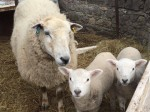 Are ewe kidding me? A farmer claims one of her sheep gave birth to identical TWINS