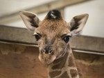 Adorable pictures show a baby giraffe being hand-reared – after being rejected by his MUM