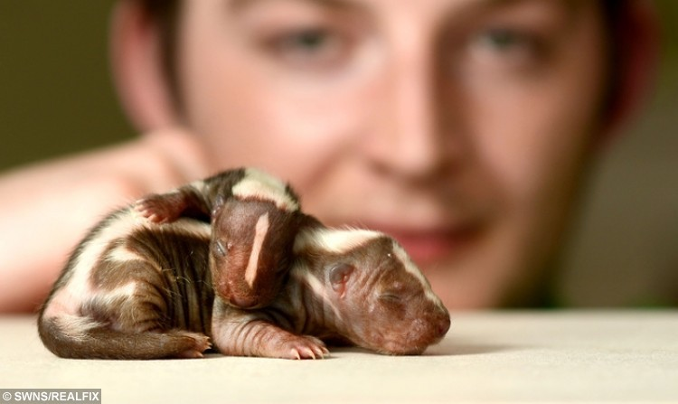 """Jake Dunbar of Amate Animalia  charity who rescues exotic animals pictured with two-day old baby skunks. See National News story NNSKUNK; Two baby skunks rescued from a breeder who was 'in too deep' are being cared for by an exotic animal rescue centre. Volunteer staff are working throughout the night to rear the two stinky little skunks, hand-feeding them every two hours. Megan Taylor, who volunteers for Amate Animalia, an animal rescue charity in the Cotswolds, said: """"The mother rejected a litter and the breeder was trying to hand-rear them, but it's so difficult. """"If the mother rejects babies it might be for a reason, but then she won't invest time, energy and milk in babies that won't live."""