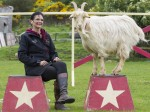 "Billy goat ""celebrity"" star of equine stunt group after learning dog tricks"