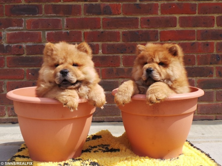 Rare lion-like chow chow puppies looking for home after illegal
