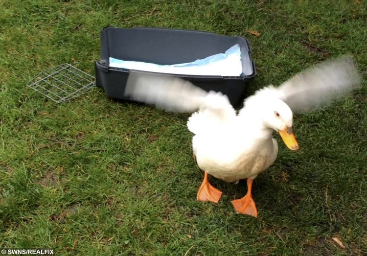 Dylis the duck who was beaten to within an inch of its life has made a miraculous recovery. See Masons copy MNDUCK: A duck which was beaten to within an inch of its life has made a miraculous recovery to be released back into the wild. Dylis, a domestic-breed duck which lives in a lake, was in such a bad way that she was unable to stand or move, and one of her wings was hanging by her side. She was rushed to the Companion Care Cathedral Veterinary Surgery in Ely, Cambs by a resident who witnessed the savage attack. Miraculously, Dylis did not sustain any fractures or wounds, and following daily hydrotherapy sessions, she was able to be released back on to the lake just 10 days later.