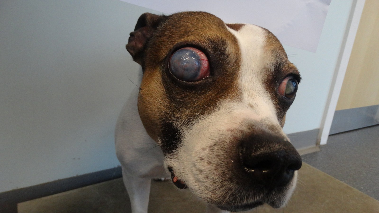 A poor dog may have to have both of its eyes REMOVED after its cruel owner left it to suffer