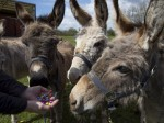 A herd of seaside donkeys are piling on the pounds because locals keep feeding them treats