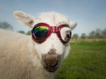 Ewe-V rays – Lamb can't go outside without sunglasses due to eye infection
