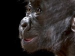 Super cute baby gorilla born C-section giving big smile