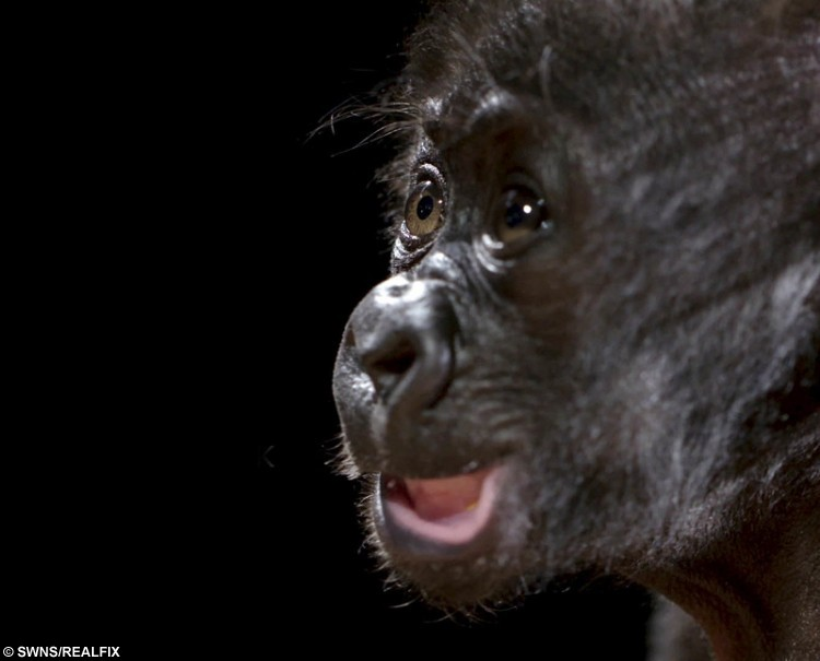 This is the adorable moment the first baby gorilla born by c-section.