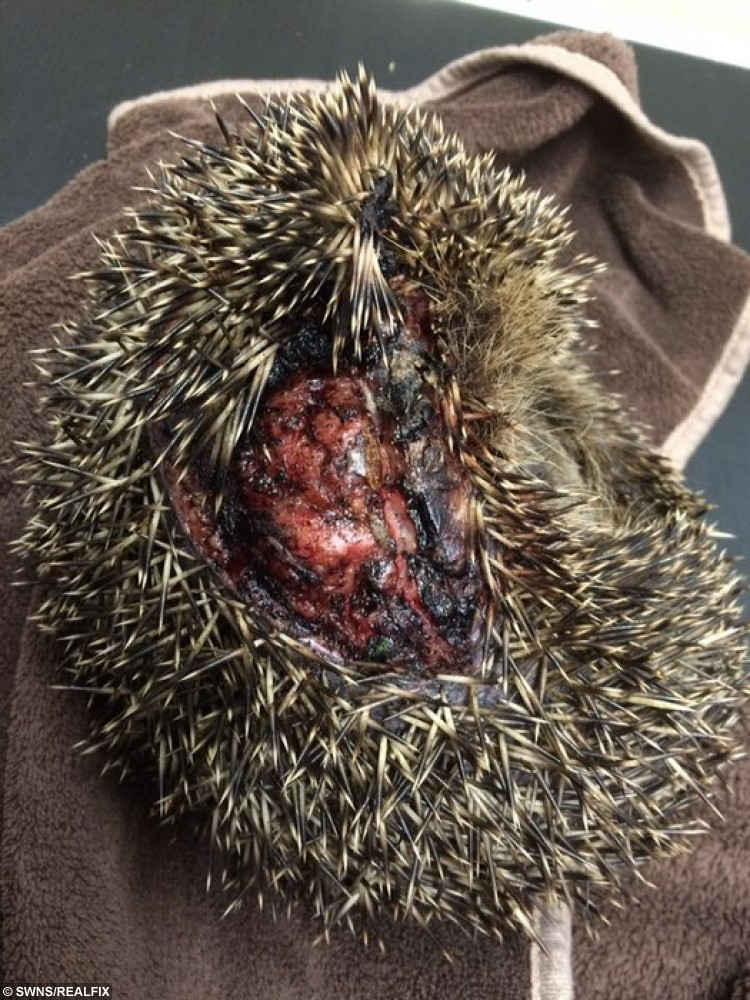 NB Please note graphic content - Braceheart the hedgehog who got sliced open by a strimmer. See SWNS story SWHOG; Gardeners are being warned to keep their eyes peeled for sleepy hedgehogs when they are mowing their lawn as they come out of hibernation. The warning comes from a hedgehog rescue centre after feisty Braveheart got caught in a strimmer.  The little hog had just emerged from hibernation before he was caught up in the gardening tool on Monday. It sliced into his skin, tearing off a patch of his spines, and leaving him fighting for his life with brutal injuries.