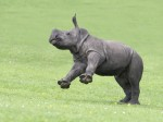 Aww! You'll never guess which animal this baby rhino is best friends with…