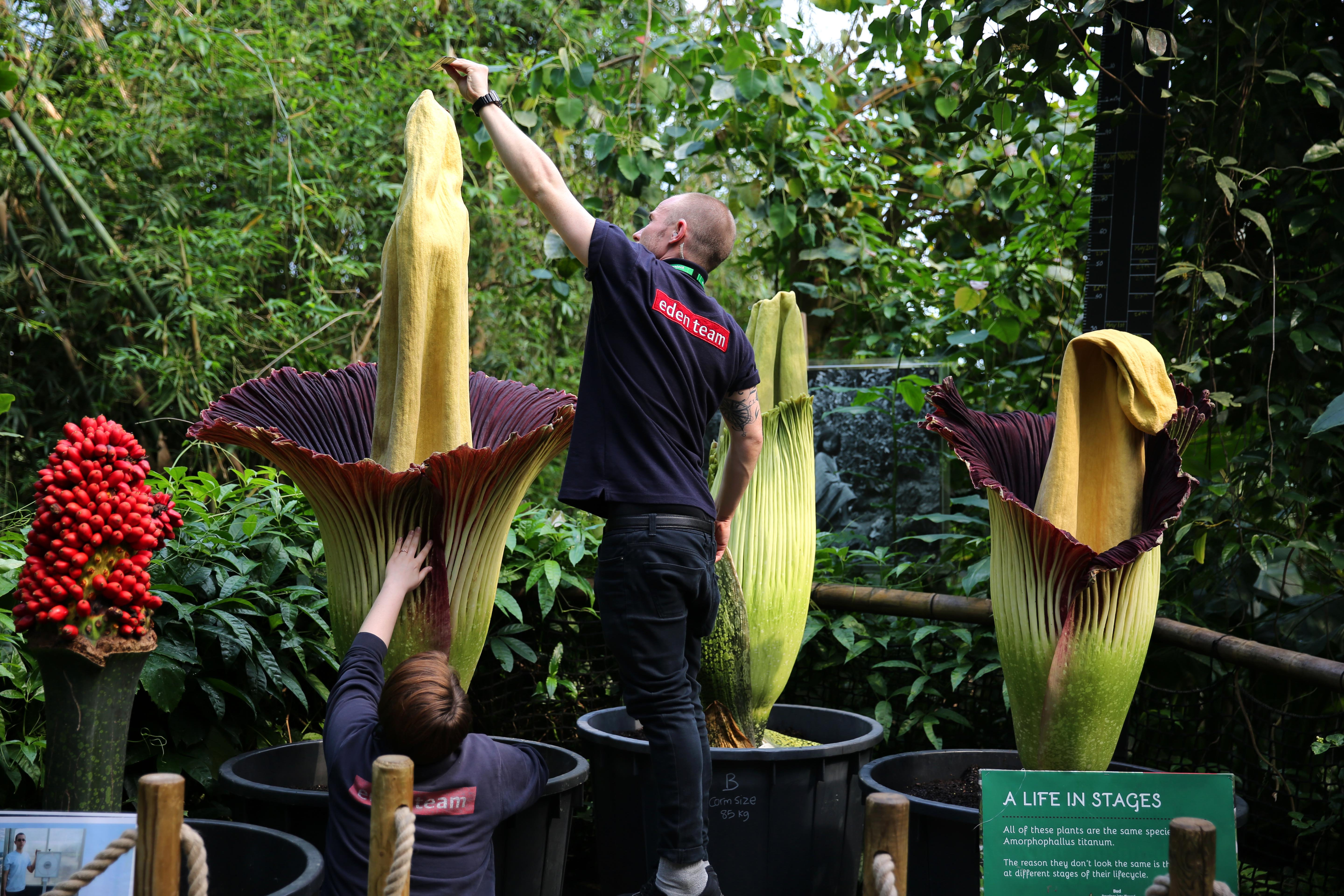 Visitors have been warned to prepare for a stench after THREE of the world's smelliest flowers are set to bloom